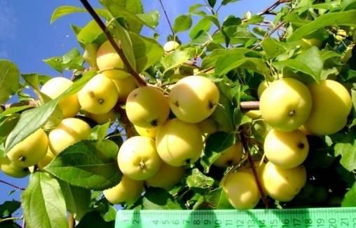 Особенности посадки яблони сорта уральское наливное и ухода за ней