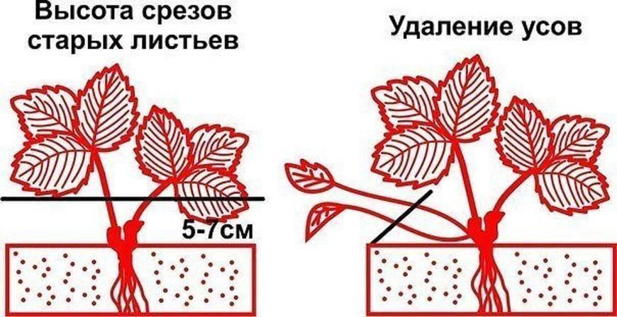 Нужна ли обрезка клубники после плодоношения?