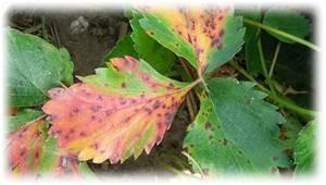 Скручиваются листья у клубники: почему так происходит, что делать и как спасти клубнику (140 фото)