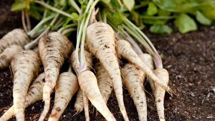 Полезные свойства пастернака, выращивание и уход