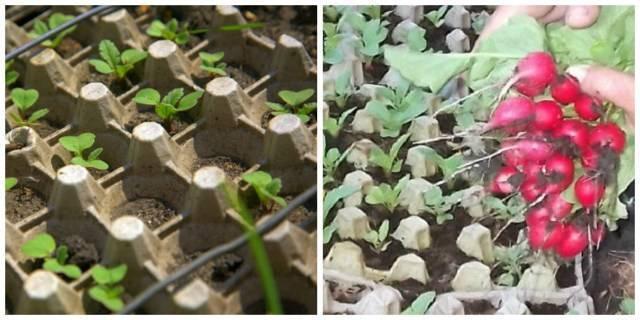 Выращивание редиса в яичных ячейках