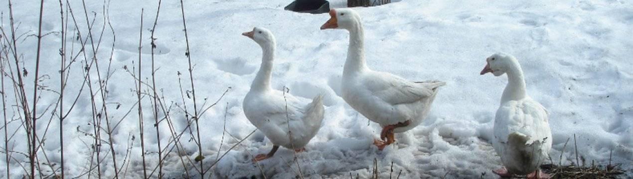 Чем кормить гусей в домашних условиях летом, зимой, чтобы они набирали вес, на мясо? чем кормить гусей в 2 месяца? - общая информация - 2020
