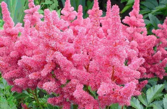 Астильба: описание многолетнего растения, посадка и уход