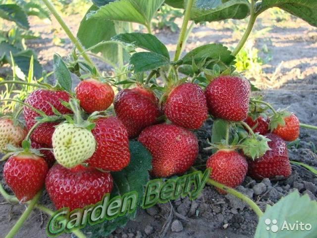 Садовая земляника альбион: особенности сорта, уход, посадка и другие важные нюансы