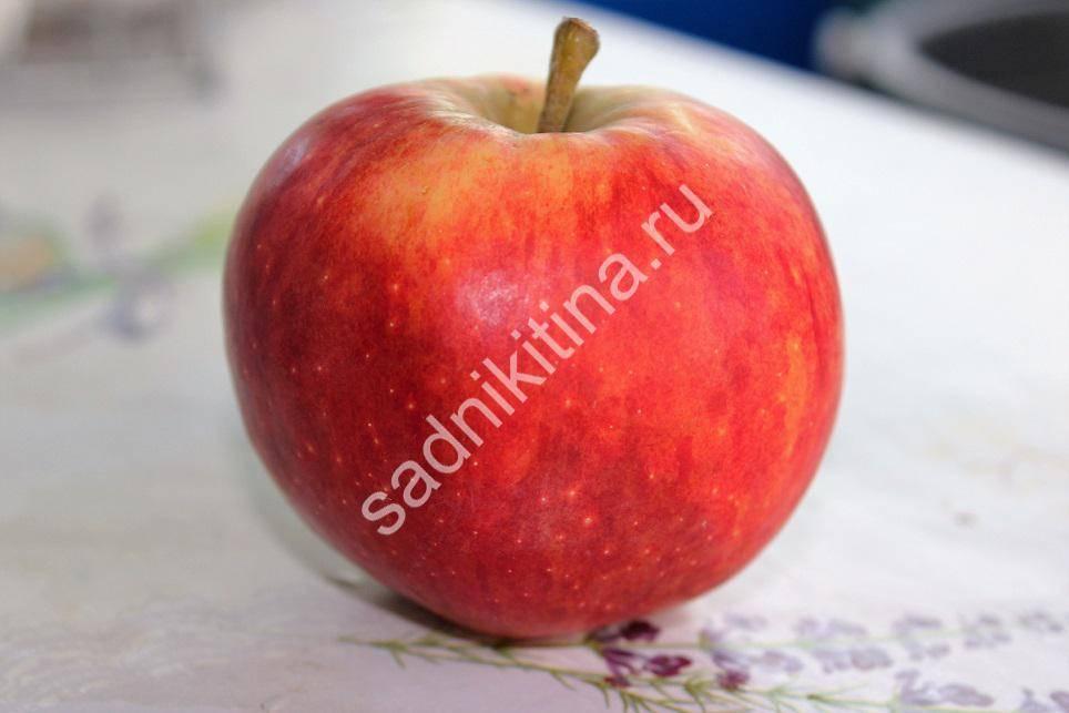 Пепин шафранный, яблоня: описание, выращивание, уход