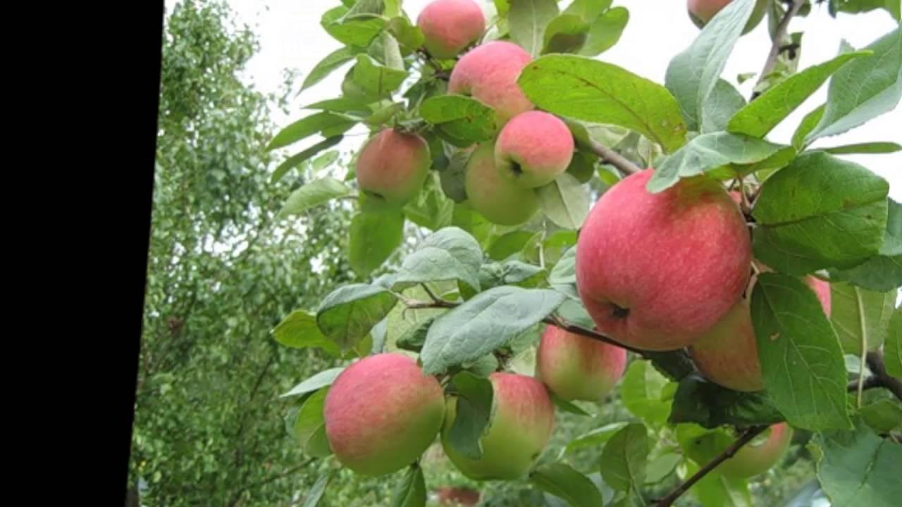 Когда поливать яблони на зиму. полив в разное время года