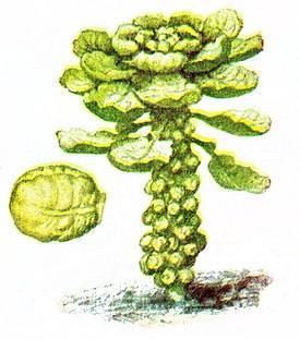 Сорта капусты брюссельской