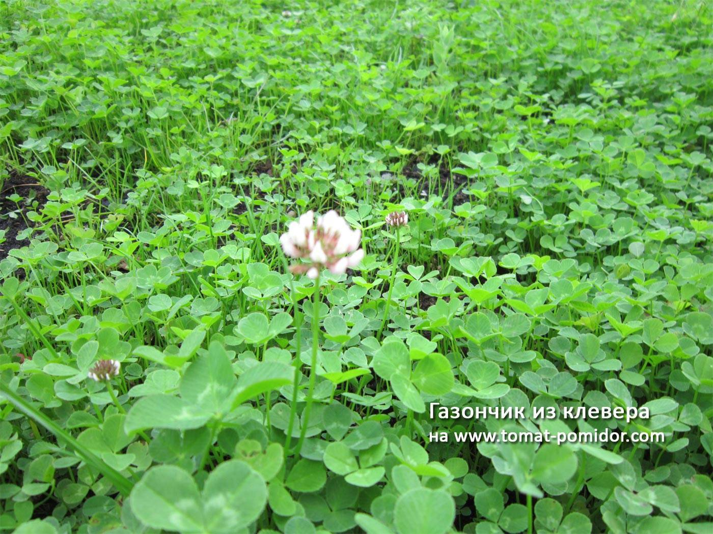 Расход семян белого клевера