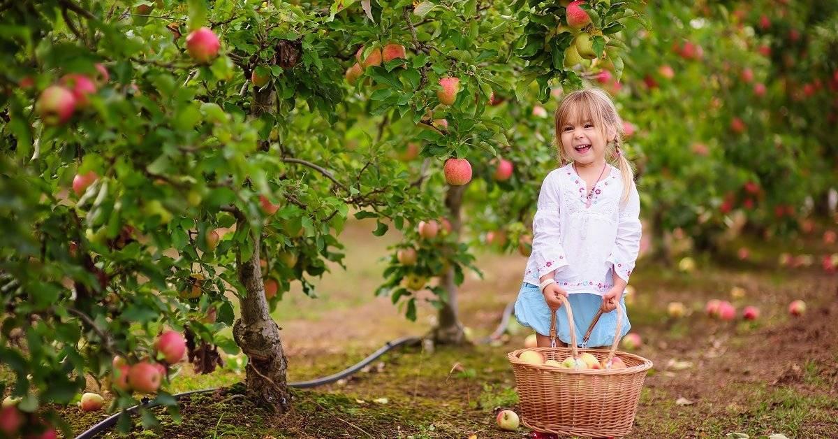 Особенности посадки и ухода за сортом яблони сябрына