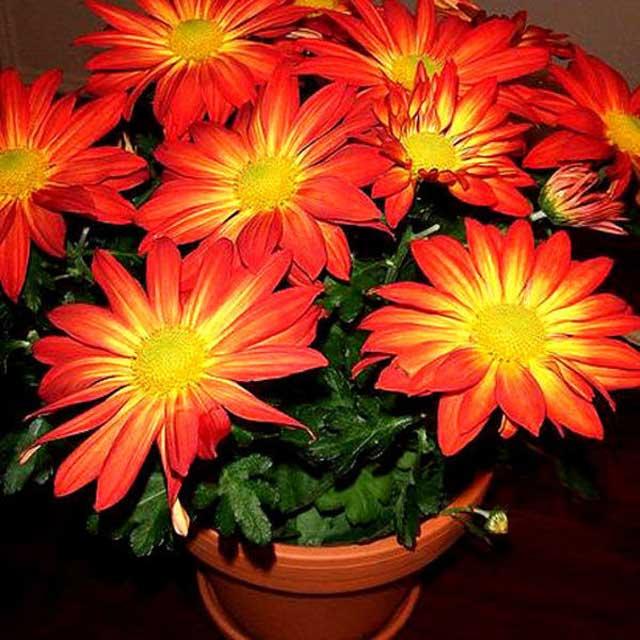 Выращивание хризантемы в горшке в домашних условиях