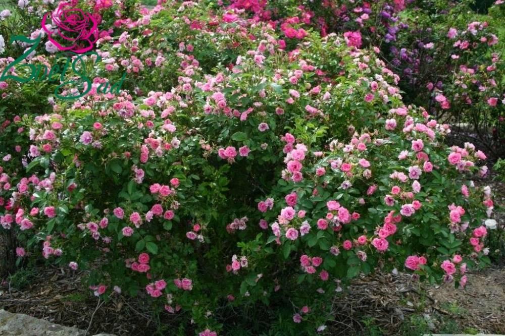 Роза морщинистая: описание, сорта, особенности посадки и ухода, размножение, болезни и вредители, применение в ландшафтном дизайне, фото