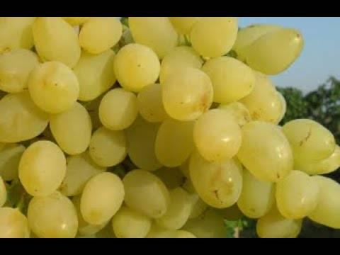 """Виноград """"долгожданный"""": фото и описание сорта, характеристики и внешний вид. заболевания и вредители"""