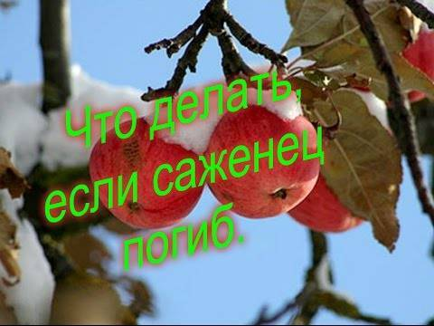 Подмерзла колоновидная яблоня что делать с верхушкой. замерзла верхушка у колоновидной яблони – что делать и как дальше ухаживать. оценка повреждений морозами побегов яблони и груши