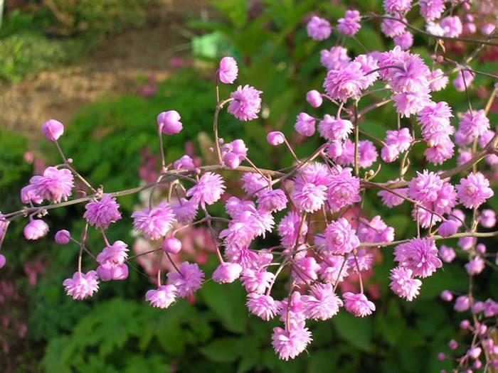 Как посадить и вырастить василистник в открытом грунте, как ухаживать