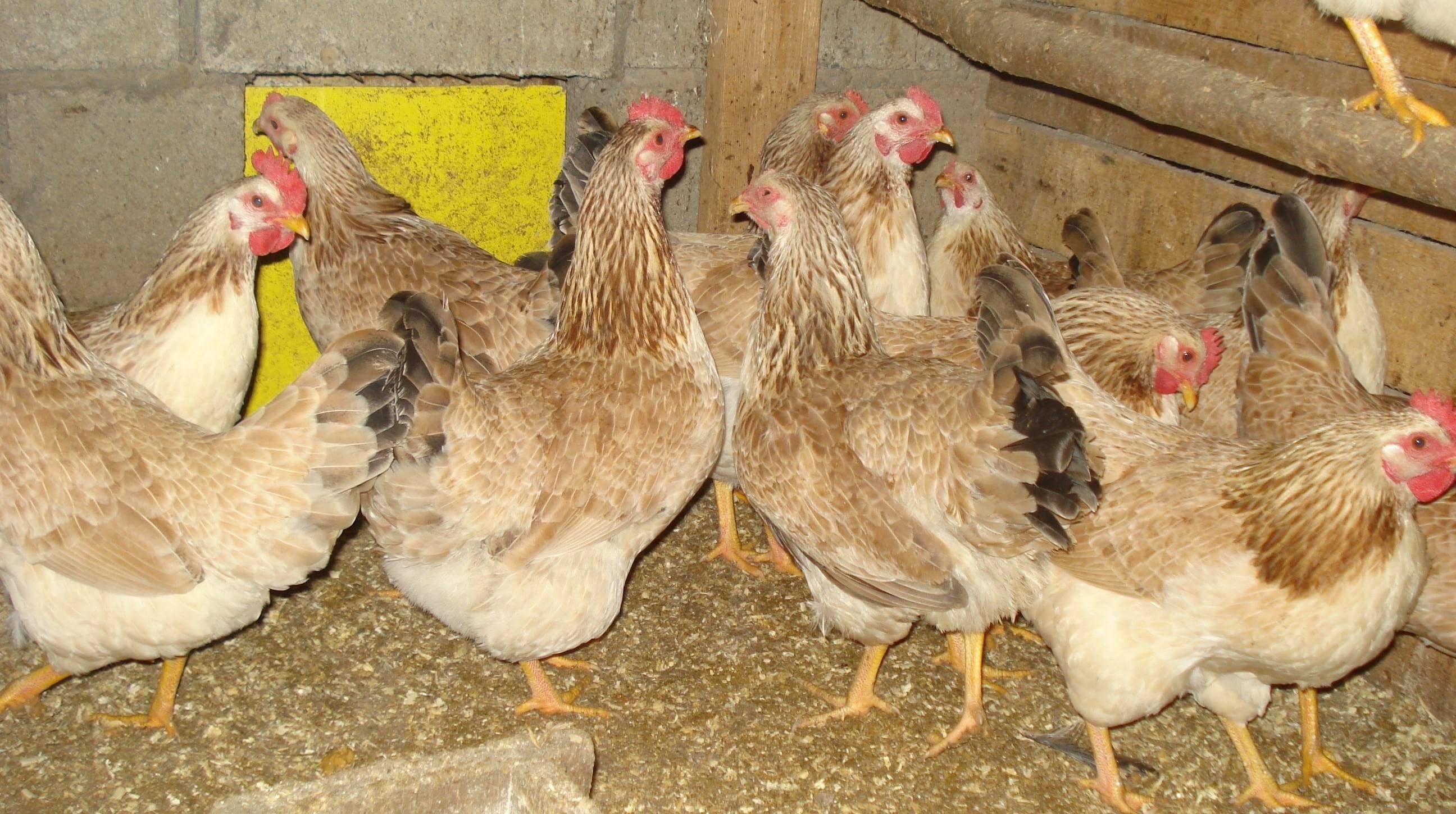Загорская лососевая порода кур — шкодливая курица