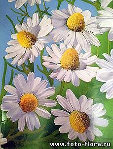 Ромашка полевая – красота и польза. цветы ромашки – описание с фото растения; его состав и полезные свойства; в каком месяце собирать; применение в лечении