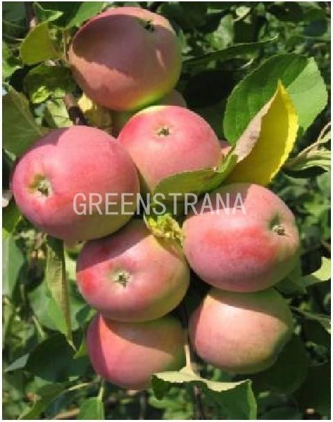 Яблоня «вишневое»: достоинства и недостатки