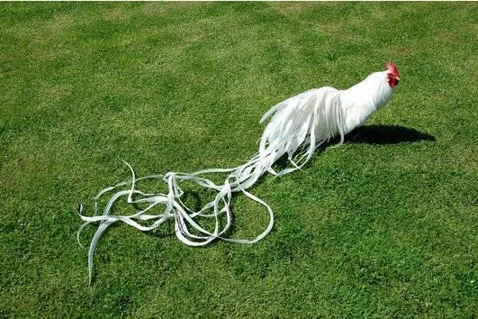 Феникс порода кур – описание, фото и видео - общая информация - 2020