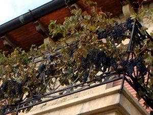 Можно ли выращивать виноград девичий в контейнере
