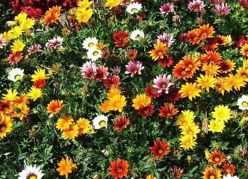 Гацания выращивание из семян когда сажать и как вырастить