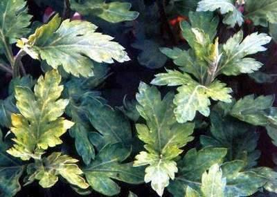 Почему на хризантеме почернели листья - 4 возможные причины