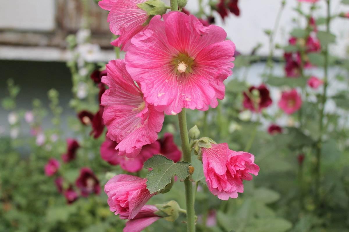 Мальва садовая — радость для дачника