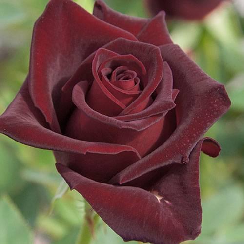 Роза блэк баккара: описание, фото, отзывы и выращивание сорта