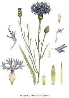 Василек луговой — лечебные свойства и противопоказания