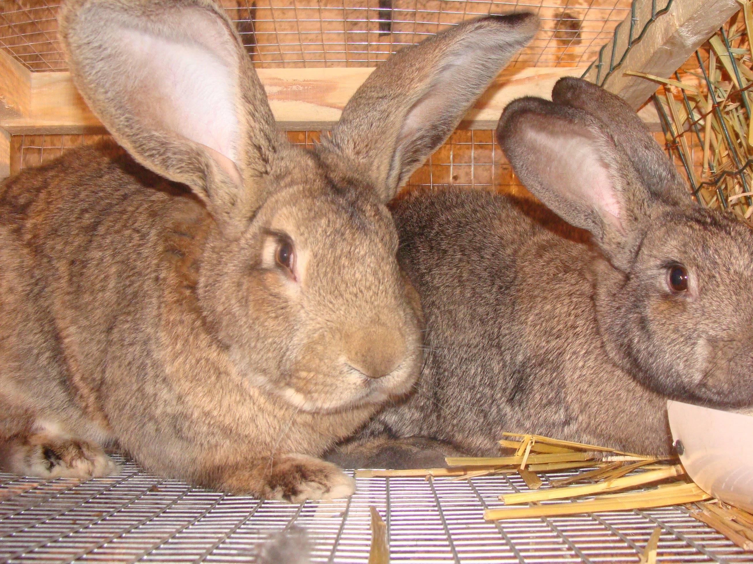 Кролики мясных пород: описание, фото, уход и разведение