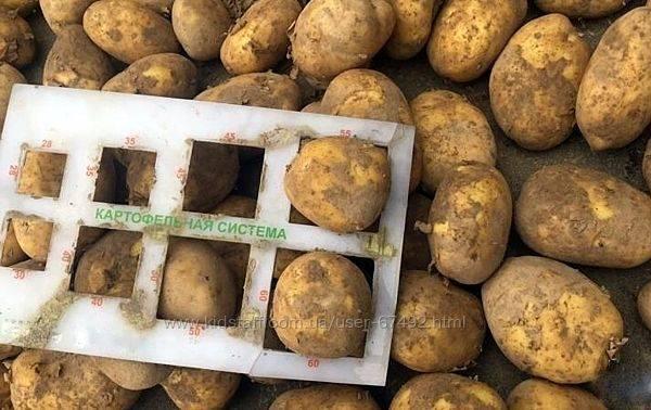Описание сорта картофеля «скарб», фото