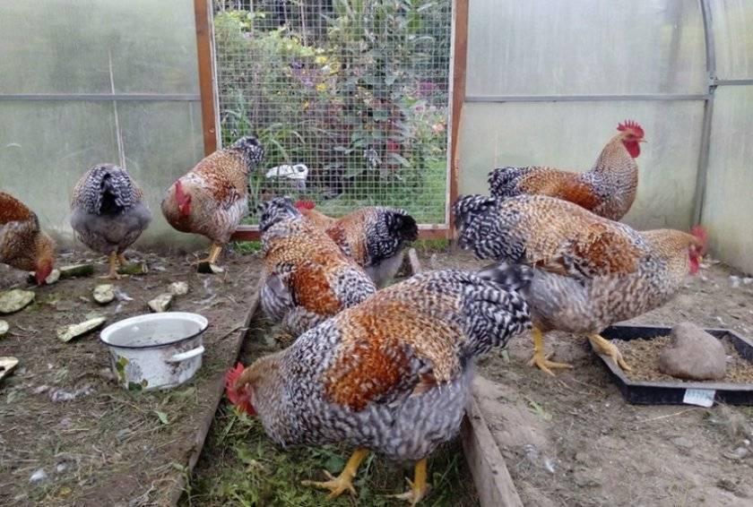 Билефельдер: порода домашних кур, подробное описание