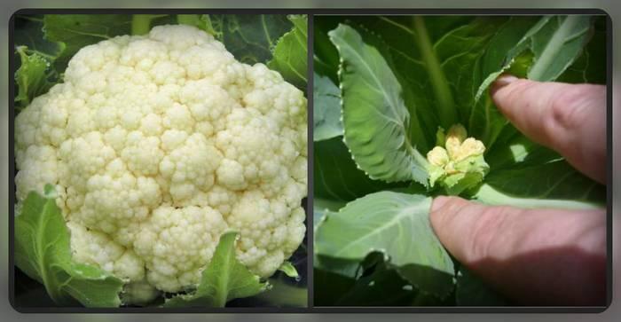 Цветная капуста – выращивание из семян и дальнейший уход