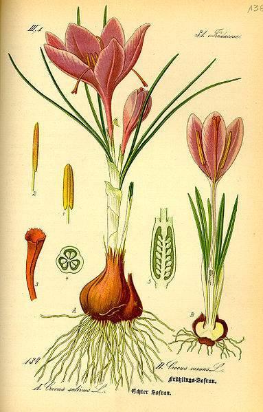 Крокус (шафран): как правильно ухаживать за цветком в домашних условиях :: инфониак