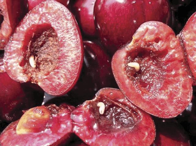 Черви в плодах сливы: причины, чем и как обрабатывать растение от вредителей