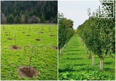 Как правильно посадить яблоню весной
