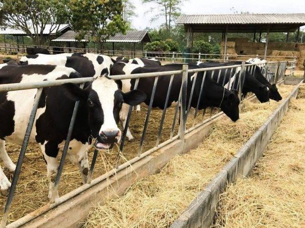 Породы телят — советы и рекомендации как сделать правильный выбор при разведении крупного рогатого скота (70 фото)