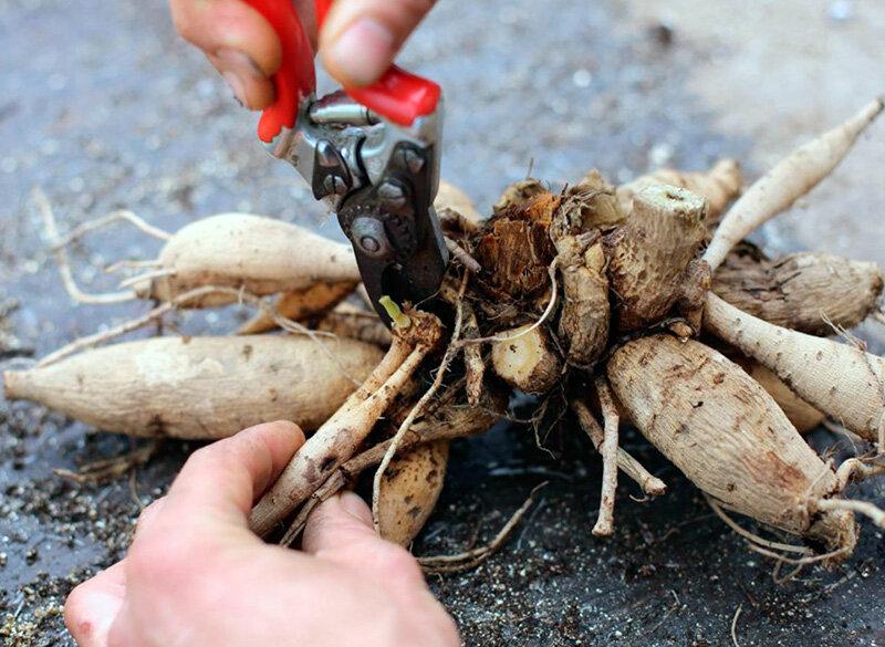 Георгины - 95 фото цветка, правила посадки, ухода и выращивания растения своими руками