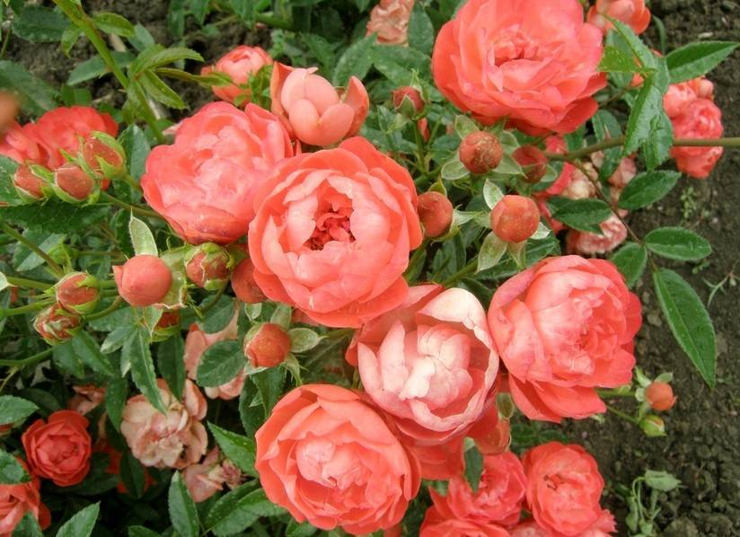 Почвопокровные розы: сорта, выращивание и применение в ландшафтном дизайне