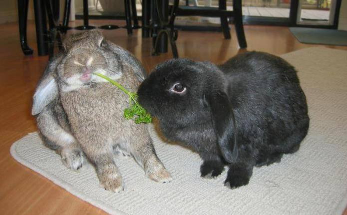 Можно ли купать кроликов декоративной породы