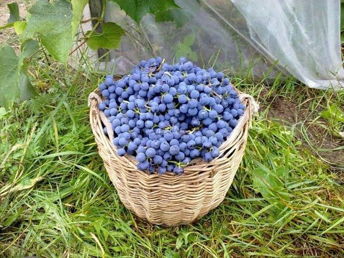 Чем подкормить виноград?