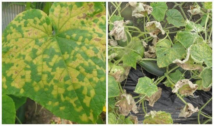 Ложная мучнистая роса или пероноспороз огурцов: лечение | топ огород