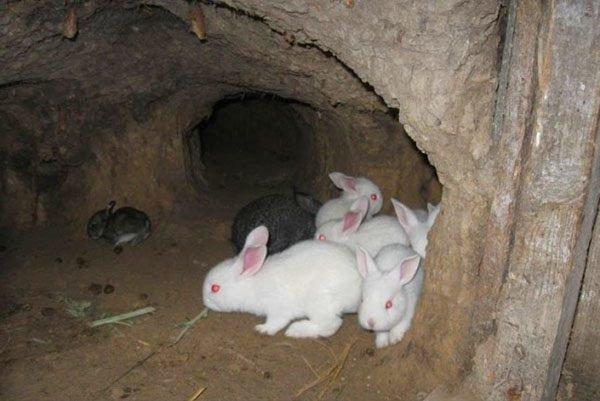 Разведение кроликов в ямах: особенности содержания и ухода за поголовьем