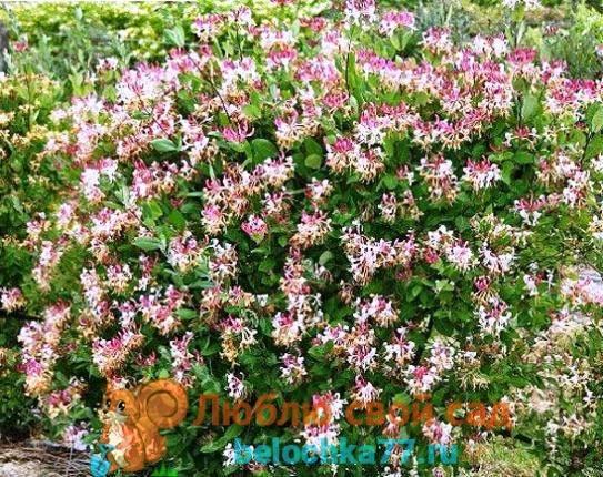 Как правильно посадить жимолость весной в Подмосковье, выращивание сортов