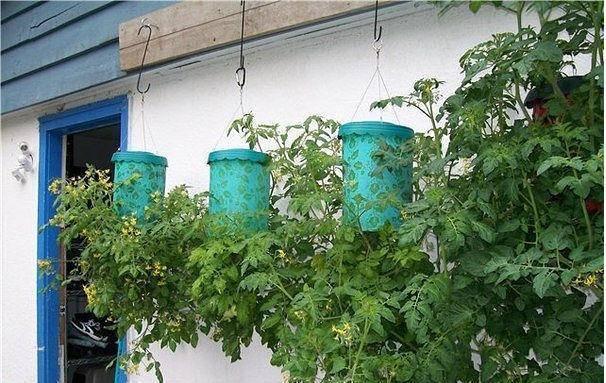 Выращиваем помидоры вверх ногами