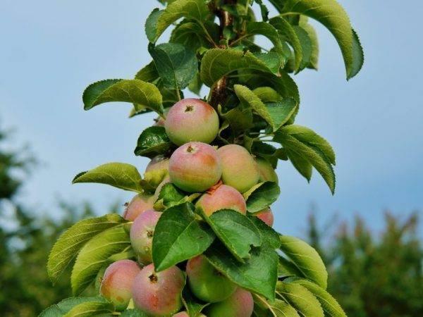 Сорт яблони янтарное ожерелье – описание, фото