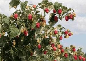 Малиновое дерево: необычный способ формирования и выращивания малины
