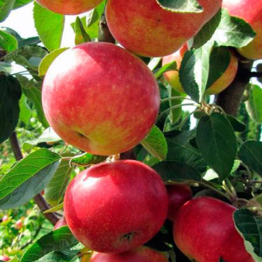 Сорт яблони арбат: описание и подробная характеристика, правила выращивания