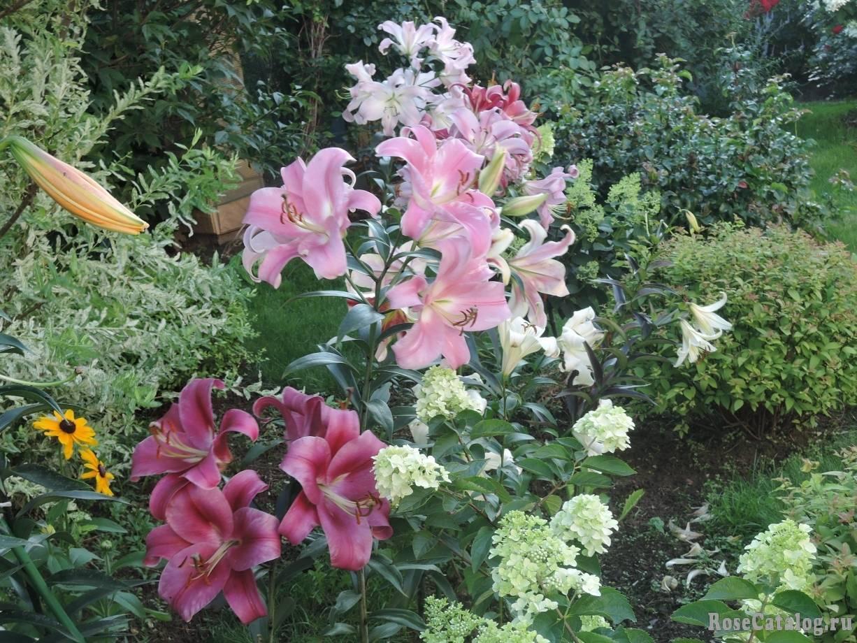 Лилии от-гибриды: лучшие сорта, правила посадки и способы размножения