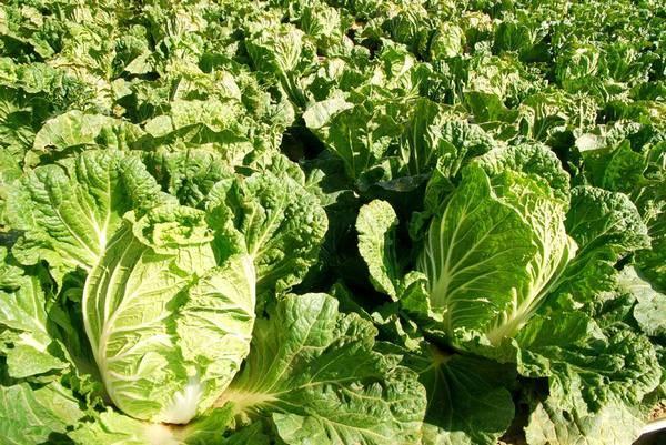 Как вырастить пекинскую капусту на огороде самостоятельно - подробно об агротехнологии!