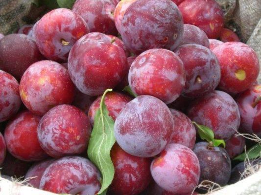 Как посадить и вырастить сливу сорта «евразия» в своем саду